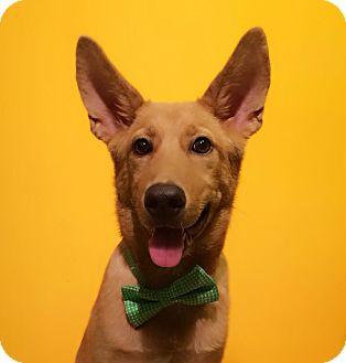 Labrador Retriever/Shepherd (Unknown Type) Mix Dog for adoption in Castro Valley, California - Pizza