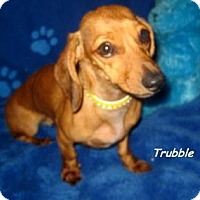 Adopt A Pet :: Trubble - Chandler, AZ