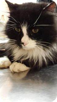 Domestic Longhair Cat for adoption in Reisterstown, Maryland - Taylor