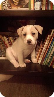 Shepherd (Unknown Type)/Labrador Retriever Mix Puppy for adoption in Broadway, New Jersey - Gallie
