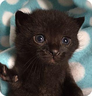 Domestic Shorthair Kitten for adoption in Union, Kentucky - Gumdrop