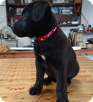 Labrador Retriever Mix Puppy for adoption in Middletown, Delaware - Leonardo