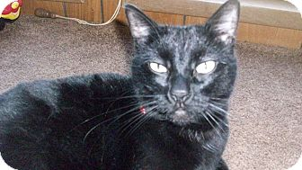 Domestic Shorthair Cat for adoption in Oakland, Oregon - Larry