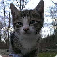 Adopt A Pet :: Sassy - Oxford, CT