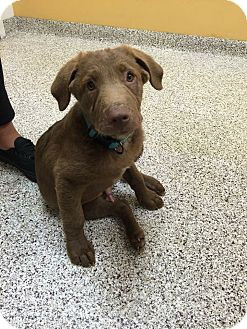 Labrador Retriever Mix Puppy for adoption in Lewisville, Indiana - Monkey