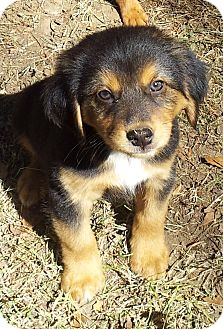 Terrier (Unknown Type, Small)/Collie Mix Puppy for adoption in Kittery, Maine - Diesel