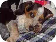 Beagle Dog for adoption in Portland, Oregon - Dewey