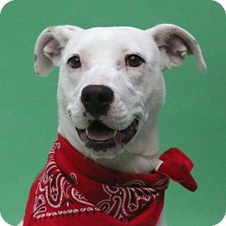 Labrador Retriever/American Pit Bull Terrier Mix Dog for adoption in Aiken, South Carolina - Felicia