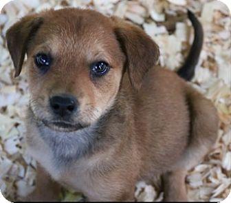 German Shepherd Dog/Labrador Retriever Mix Puppy for adoption in Homestead, Florida - Josephine Pup (Susan)