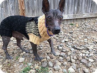 Mexican Hairless Mix Dog for adoption in Breinigsville, Pennsylvania - Pablo