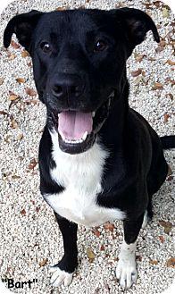 Labrador Retriever/Pit Bull Terrier Mix Dog for adoption in Key Largo, Florida - Bart