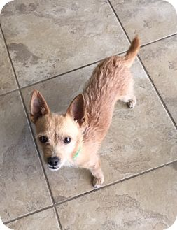 Chihuahua/Cairn Terrier Mix Dog for adoption in Gilbert, Arizona - Shane