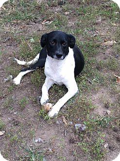 Terrier (Unknown Type, Medium) Mix Dog for adoption in ST LOUIS, Missouri - Baby