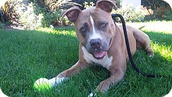 """American Pit Bull Terrier/Boxer Mix Dog for adoption in Newport Beach, California - Aesop """"Ace"""""""