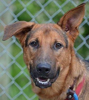 German Shepherd Dog Mix Dog for adoption in Southeastern, Pennsylvania - Axel