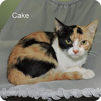 Domestic Shorthair Kitten for adoption in Slidell, Louisiana - Cake