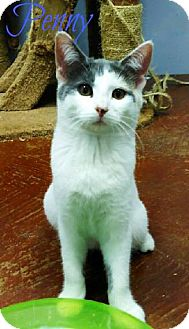 Domestic Shorthair Cat for adoption in Laplace, Louisiana - Penny- Already Spayed