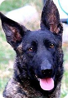 Dutch Shepherd Dog for adoption in Wakefield, Rhode Island - DOTTIE(GORGEOUS DUTCH SHEPHERD