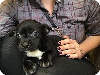 Terrier (Unknown Type, Small)/Chihuahua Mix Puppy for adoption in Vancouver, British Columbia - Two-Bit
