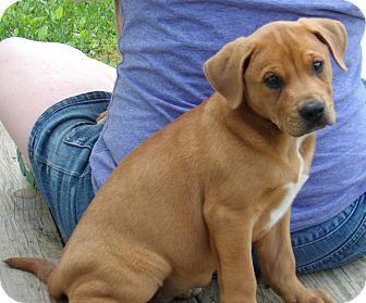 Labrador Retriever/Shepherd (Unknown Type) Mix Puppy for adoption in Twinsburg, Ohio - Kuma (10 lb) Video!