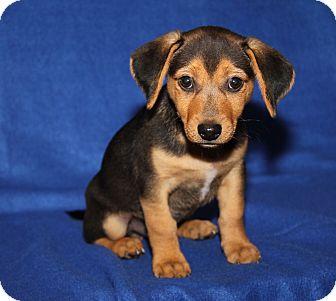 Chihuahua/Beagle Mix Puppy for adoption in Marietta, Ohio - Rico