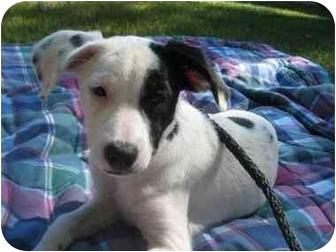 Pointer/Spaniel (Unknown Type) Mix Puppy for adoption in Minneapolis, Minnesota - Scarlett