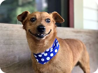Terrier (Unknown Type, Small) Mix Dog for adoption in Dripping Springs, Texas - Hayes