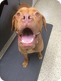 Dogue de Bordeaux Mix Dog for adoption in St. Louis, Missouri - Reginald