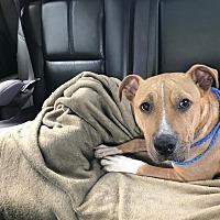 Adopt A Pet :: Benji - Villa Park, IL