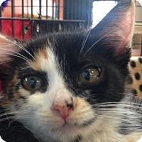 Adopt A Pet :: Madalena - Sarasota, FL