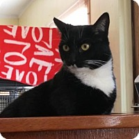Domestic Shorthair Cat for adoption in Templeton, Massachusetts - Bentley