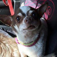 Adopt A Pet :: Peyton - Fillmore, IN