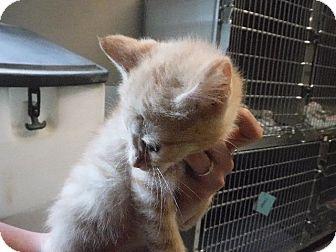 Domestic Shorthair Kitten for adoption in Batesville, Arkansas - Ramon