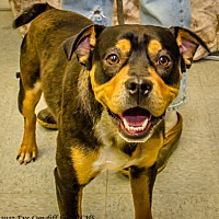 English Bulldog/Rottweiler Mix Dog for adoption in Martinsville, Indiana - Rocco