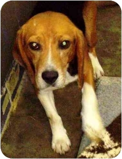 Beagle Dog for adoption in Buffalo, New York - Squire: SPONSORED