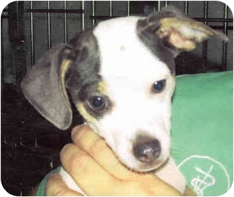 Terrier (Unknown Type, Small)/Chihuahua Mix Puppy for adoption in Portsmouth, Rhode Island - Stewart