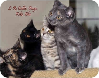 Calico Kitten for adoption in Chester, Maryland - Callie