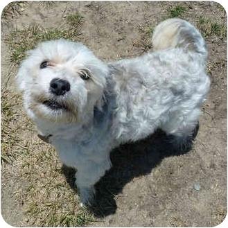 Yorkie, Yorkshire Terrier/Shih Tzu Mix Puppy for adoption in San Clemente, California - WINSTON