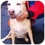 Photo 3 - Labrador Retriever/Whippet Mix Dog for adoption in New York, New York - Lady