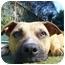 Photo 1 - American Pit Bull Terrier Mix Dog for adoption in Berkeley, California - Farah
