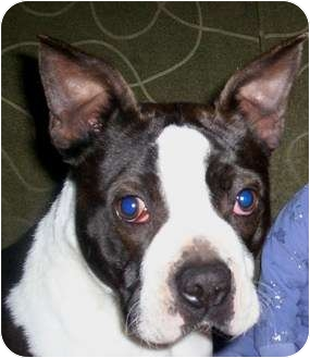 Boston Terrier Dog for adoption in North Augusta, South Carolina - DEESEL