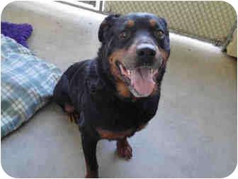 Rottweiler Dog for adoption in Tracy, California - Mac
