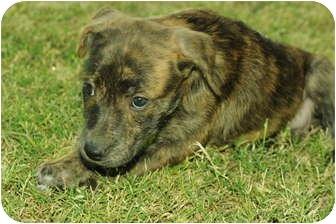 German Shepherd Dog/American Pit Bull Terrier Mix Puppy for adoption in Scottsdale, Arizona - June