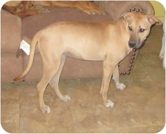 Great Dane Mix Dog for adoption in Copperas Cove, Texas - Karly - shy cuddle bug