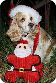 Cocker Spaniel Dog for adoption in Sugarland, Texas - Wilson