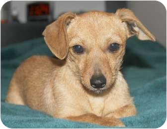 Dachshund/Terrier (Unknown Type, Small) Mix Dog for adoption in Temecula, California - Maddie