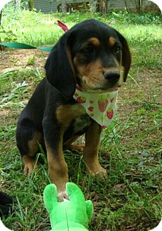 Black and Tan Coonhound/Bluetick Coonhound Mix Puppy for adoption in Staunton, Virginia - Beauty (Reduced Adoption Fee)