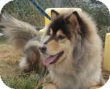 Samoyed/German Shepherd Dog Mix Dog for adoption in Rochester/Buffalo, New York - Suka