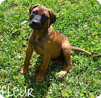 Bullmastiff/Doberman Pinscher Mix Puppy for adoption in Metairie, Louisiana - Fleur