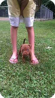 American Pit Bull Terrier Mix Puppy for adoption in Roaring Spring, Pennsylvania - Female3